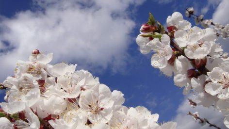Flori de cireș (floare)