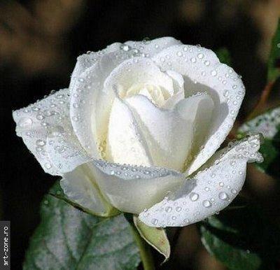Trandafir alb (art-zone.ro)